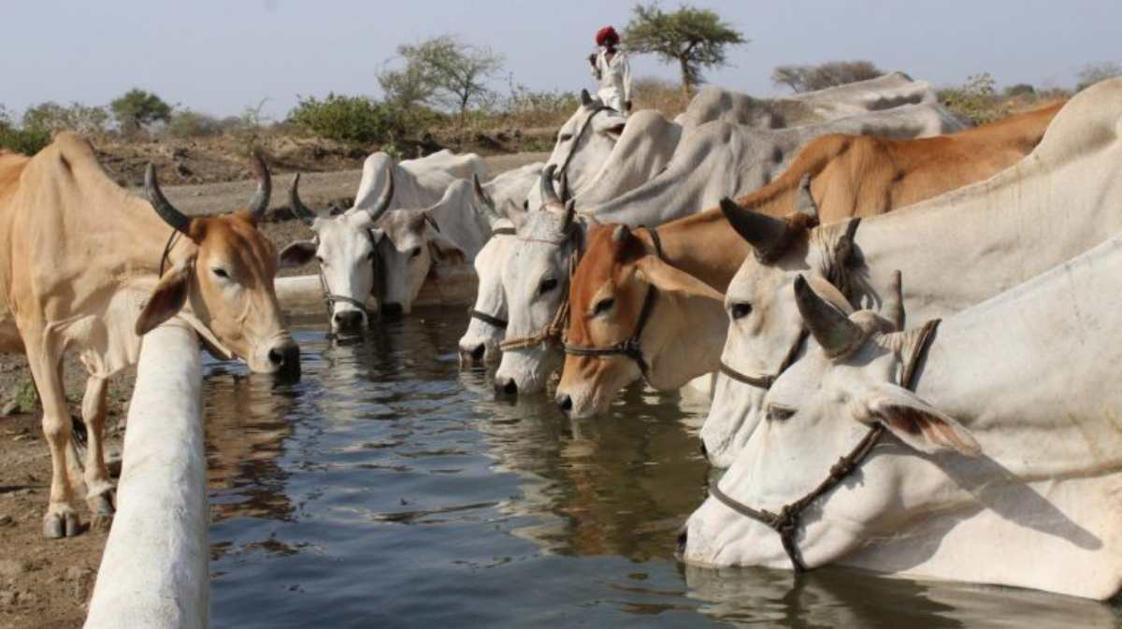 a herd of cattle standing on top of a body of water